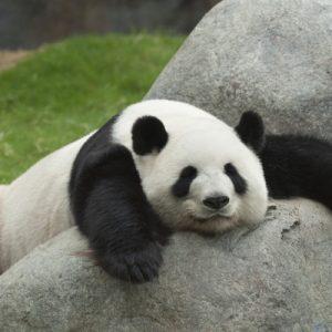 【四川】熊猫: quell'animale chiamato orso-gatto